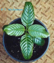 Kratom 98 Alkaloidal Extract Orland